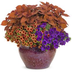Colorblaze Sedona Sunset Coleus, Superbells Tangerine Punch Calibrachoa, Supertunia Royal Velvet Petunia
