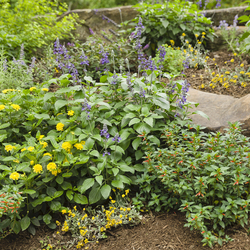 Playin' the Blues Salvia, Luscious Bananarama Lantana, Flambe Yellow Strawflower, Vermillionaire Firecracker Plant, Royale Pina Colada Lantana, Lemon Coral Stonecrop