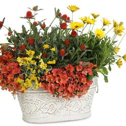 Bright Lights Yellow African Daisy, Superbells Tropical Sunrise Calibrachoa, Flambe Yellow Strawflower, SUNSATIA Blood Orange Nemesia, Forest Red Globe Amaranth