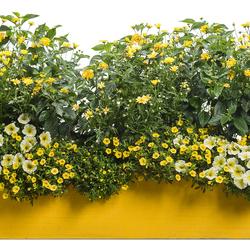 Golden Butterfly Marguerite Daisy, Goldilocks Rocks Bidens, Superbells Yellow Petunia, Luscious Bananarama Lantana, Golddust Mecardonia, Limoncello Supertunia
