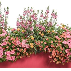 Angelface Perfectly Pink Angelonia, Superbells Coralina Calibrachoa, Supertunia Bermuda Beach Petunia, Luscious Berry Blend Lantana, Superbena Royale Peachy Keen Verbena